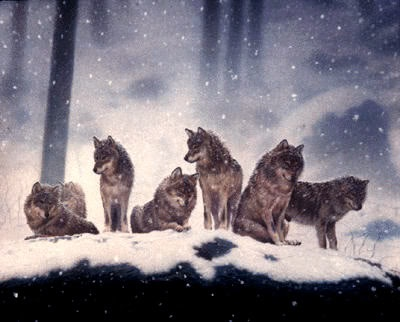 Wolf pack 1