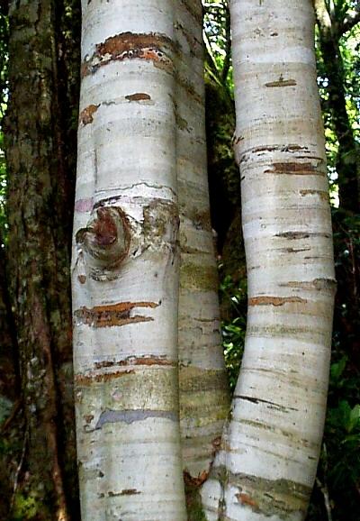 Coachwood bark