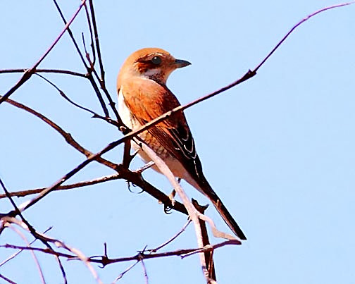 Shrike female