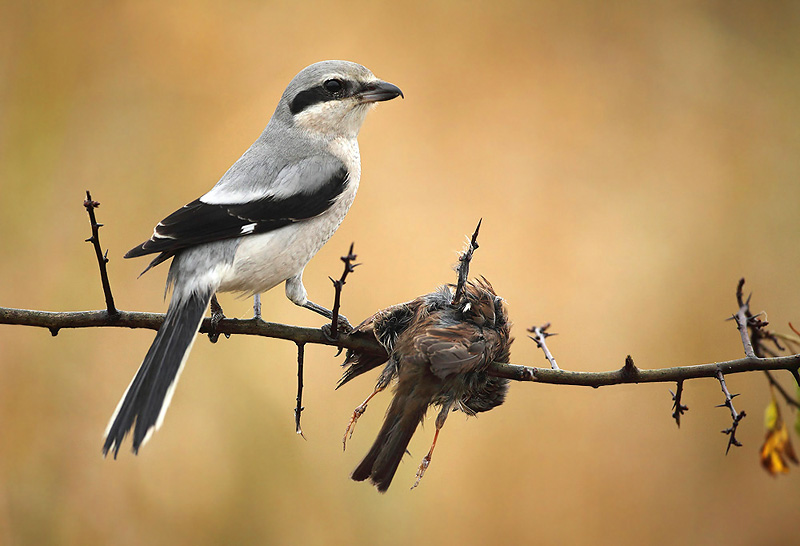 Shrike male