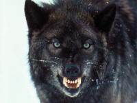 Handout   dire wolf 1