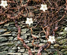 Dry stone wall and vine tom wray