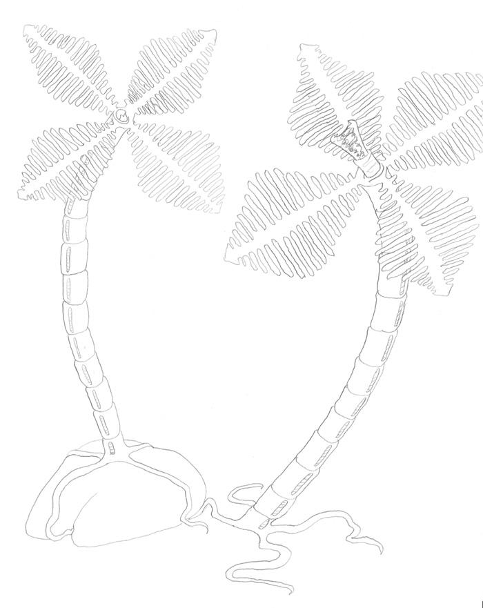 Toothlilies
