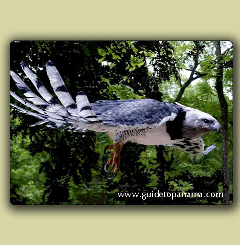 Harpy eagle found in panama
