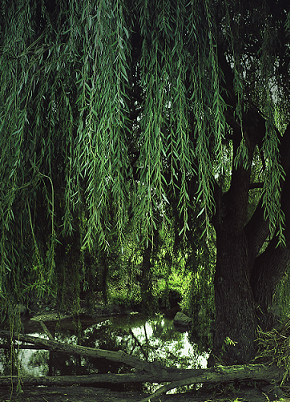 Weeping willow by klises d4u7dug