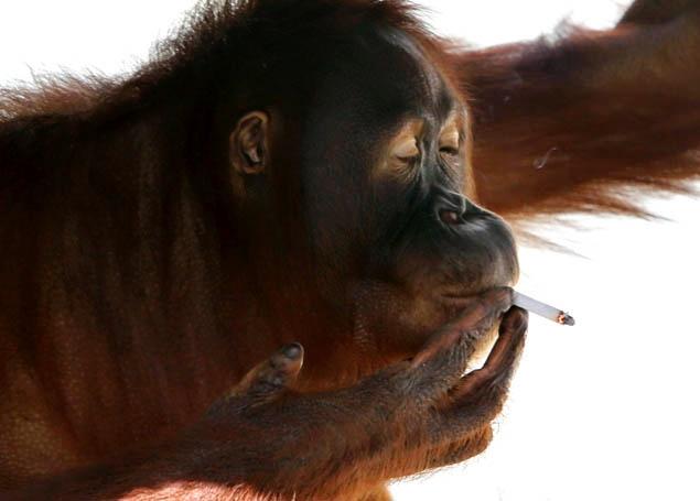 Orangutang smoke