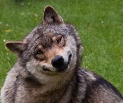 Stonerwolf