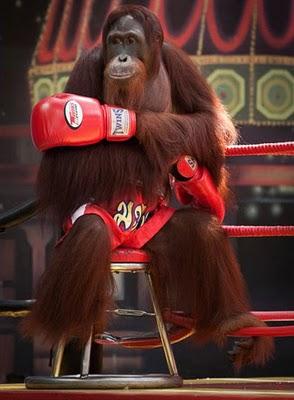 Kick boxing orangutans in thailand011