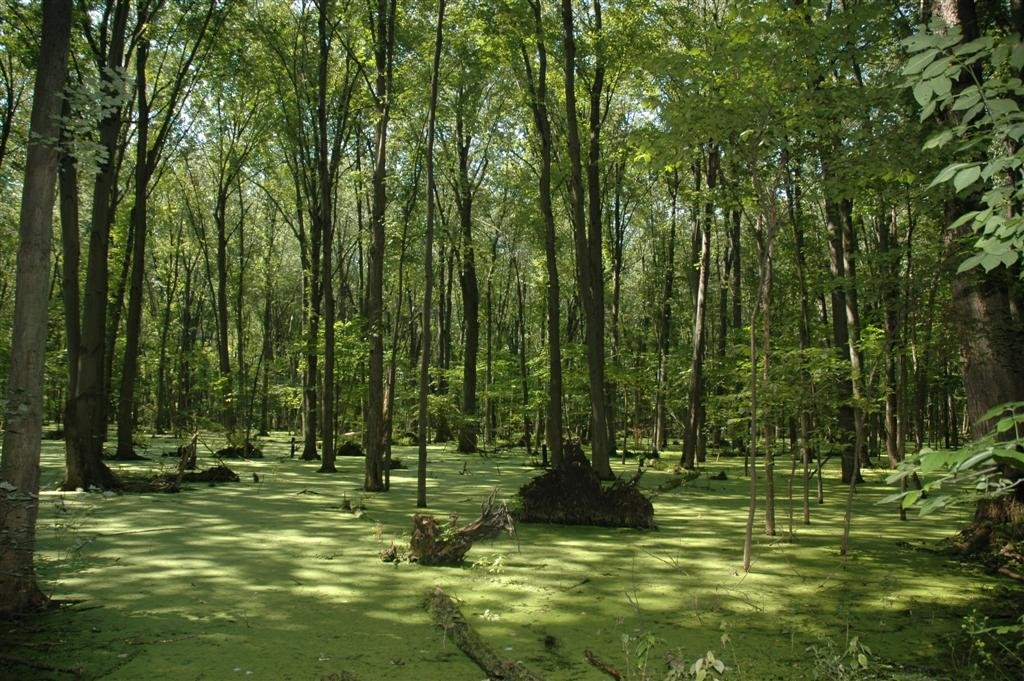 Swamp large 1