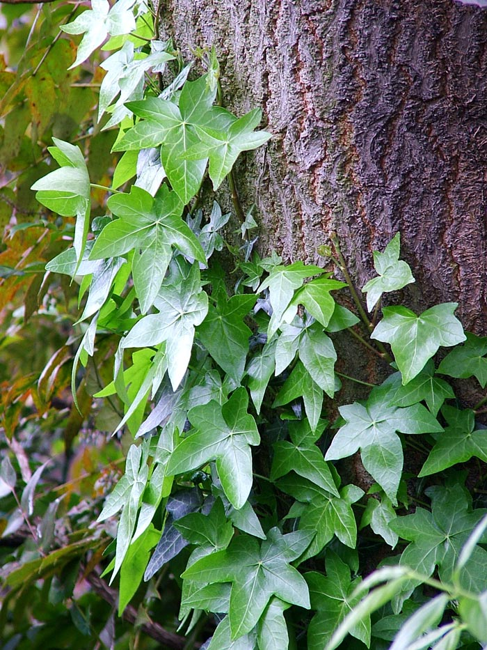 Ivy tree bark