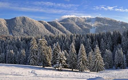 Frozen pine forest wallpaper 448x280