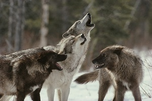 Wolfpack howling