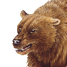 Cave bear p