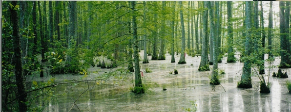 Wolf river swamp north mississippi