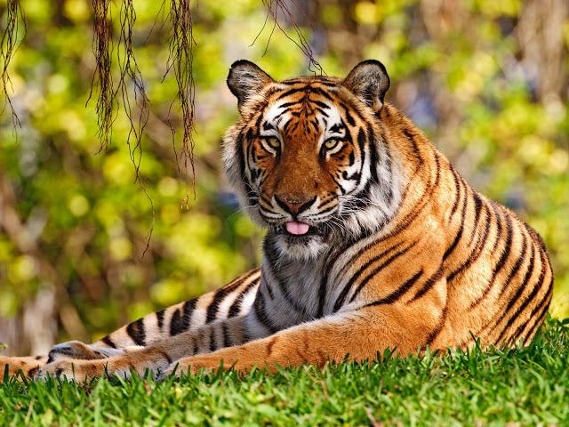 Bengal tigerk