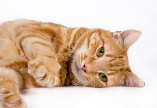 Orange cat1