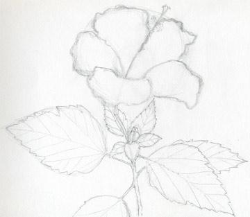 Drawings of hibiscus flowers04