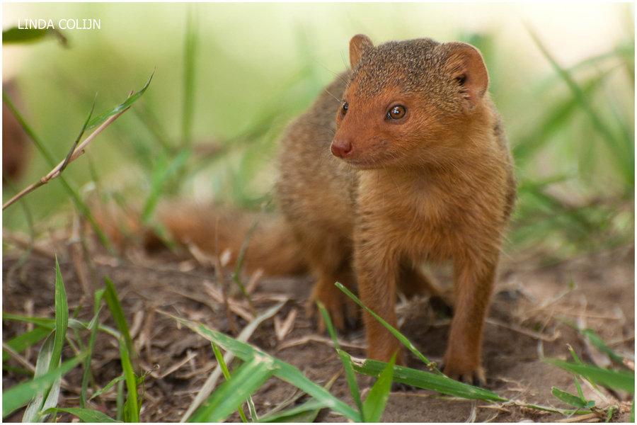 Fauna dwarf mongoose