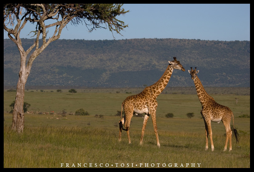 Fauna girafas