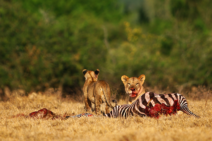 Fauna leones