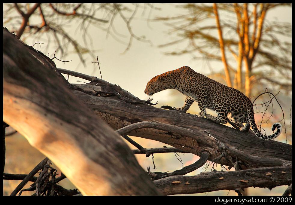 Fauna leopardo