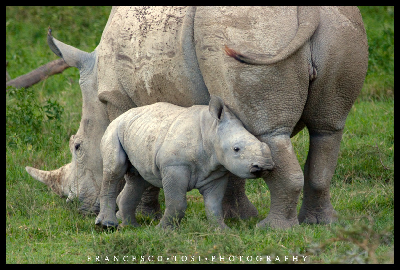 Fauna rhino