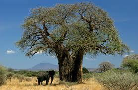 Flora baobab