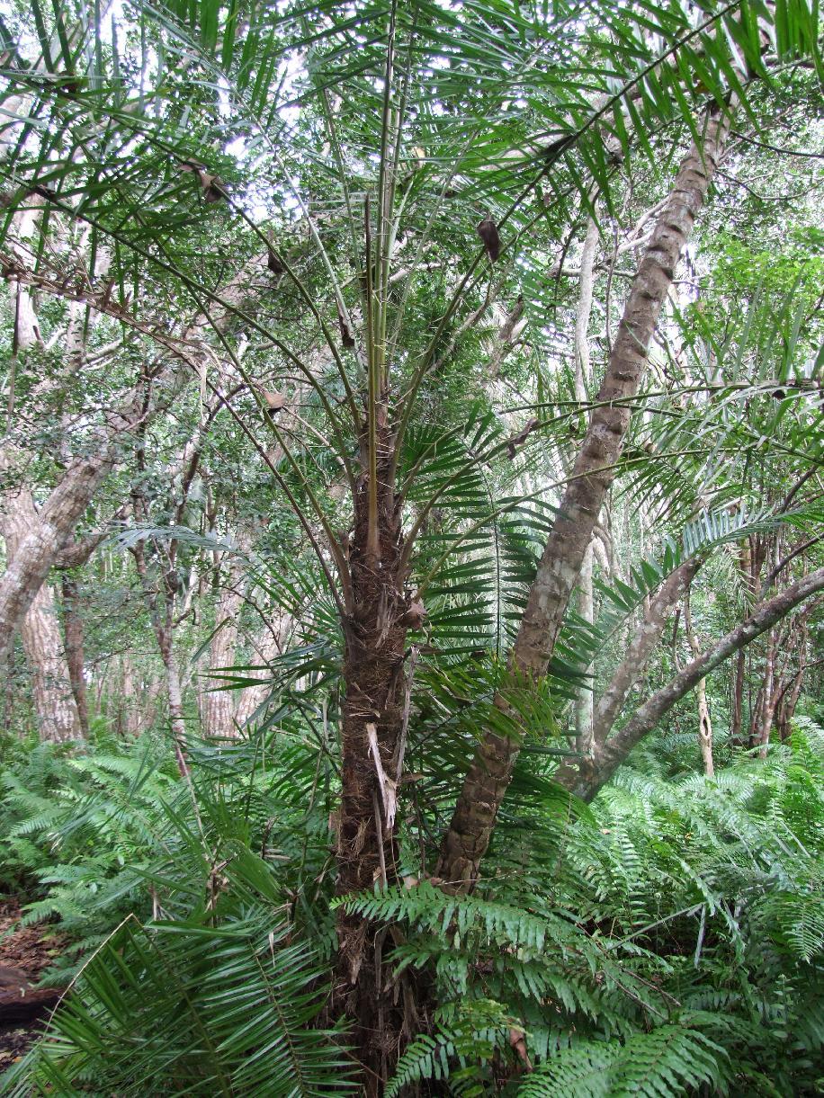 Flora palmeras