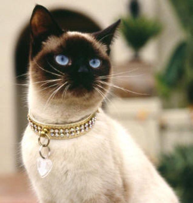 74236 22858 cerco in regalo una gattina siamese