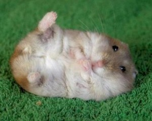 Cute hampster 300x239