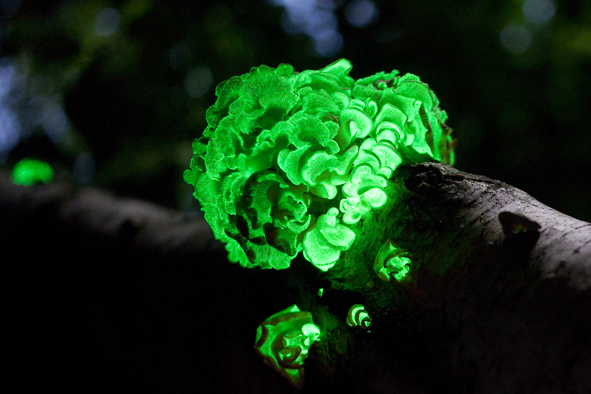 Luminescent fungus