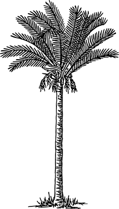 Warszawianka date palm