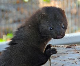 Rescued wild mink at cwc
