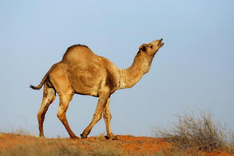Camel 77244299