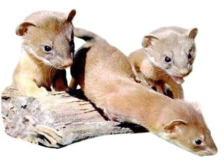 Weasel litter