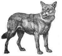 Mathojan wolf