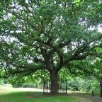 Honour oak