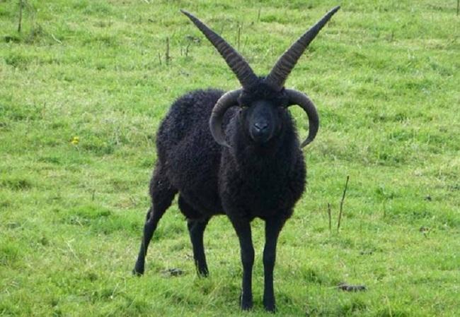Vile goat