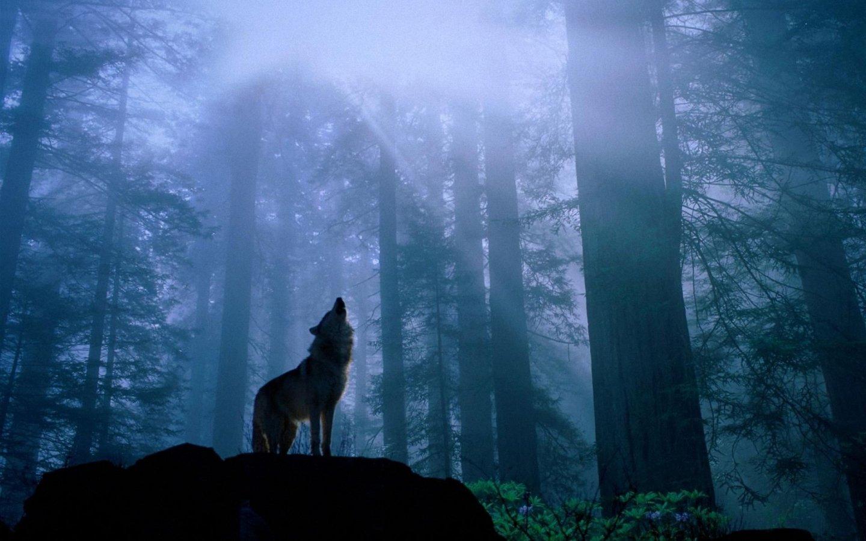 Wolf wallpaper 145529 1440x900