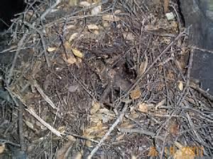 Rat nest