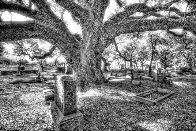 Black paws oak tree