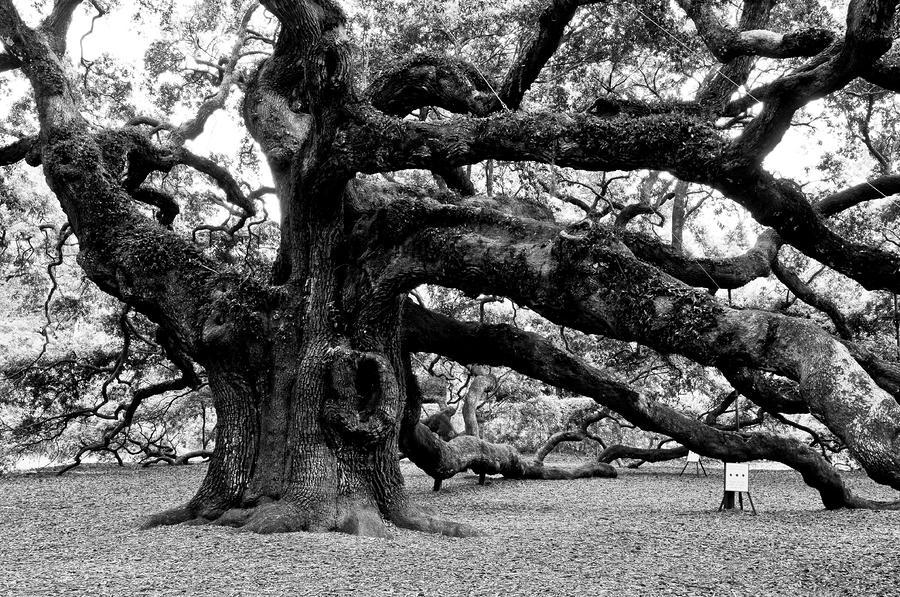 Angel oak tree 2009 black and white louis dallara