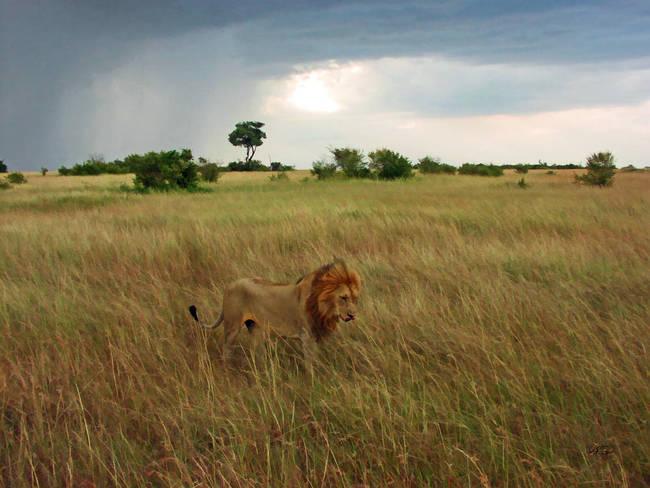 A plains lion stalks across the Great Cat Plains
