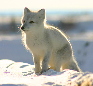 Churchill arctic foxes
