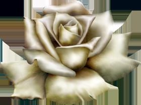 Arrissa  rose