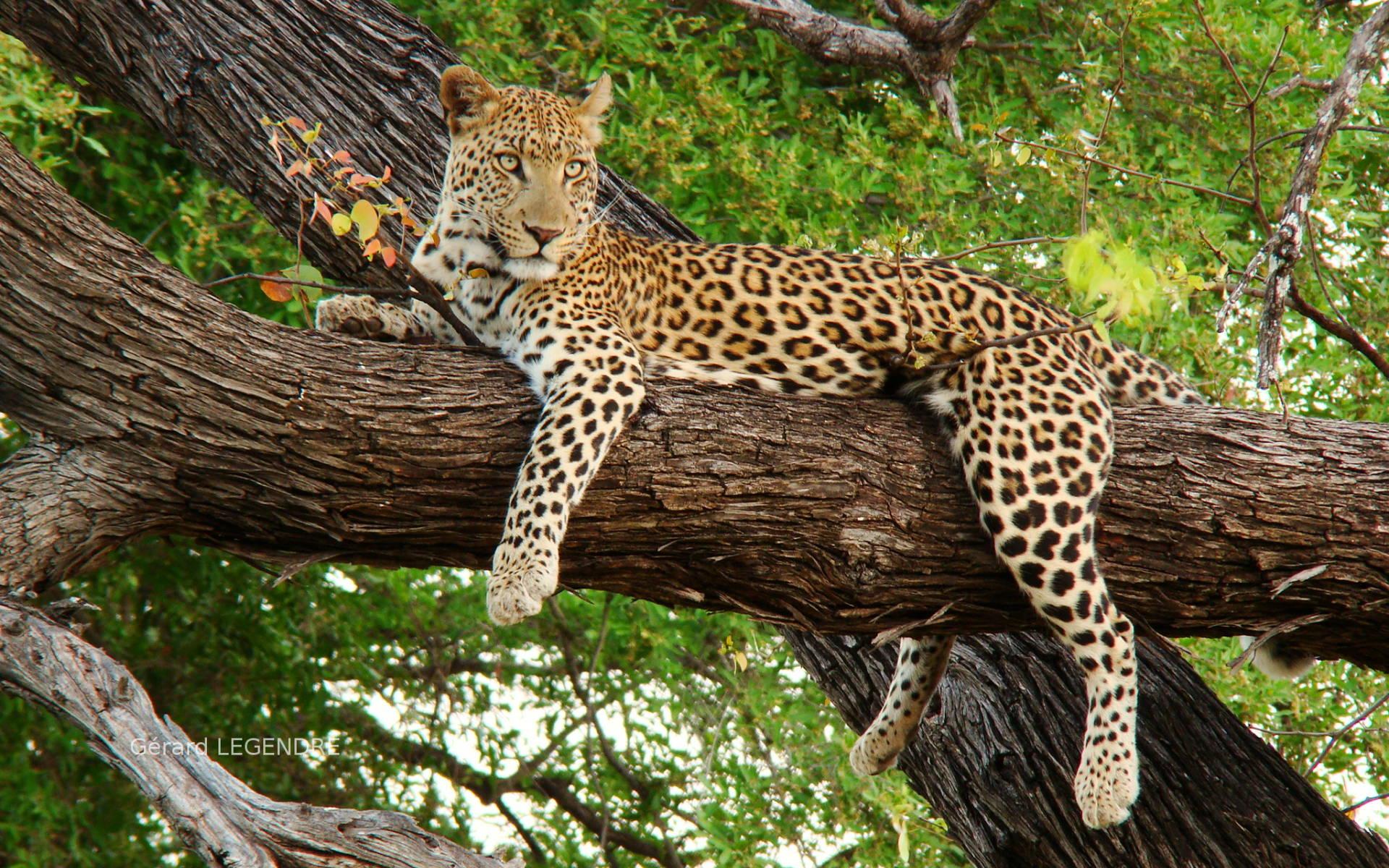 Adaire leopard form