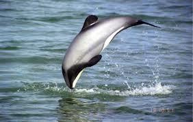 Adaire porpoise form