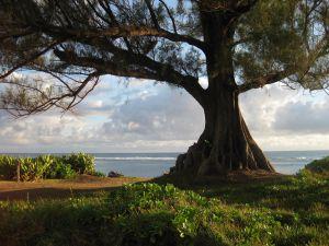 Kauai beach ironwood tree 300
