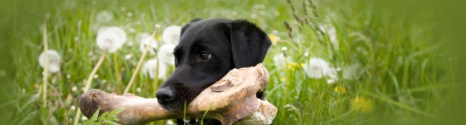 Black lab with bone long 660x178