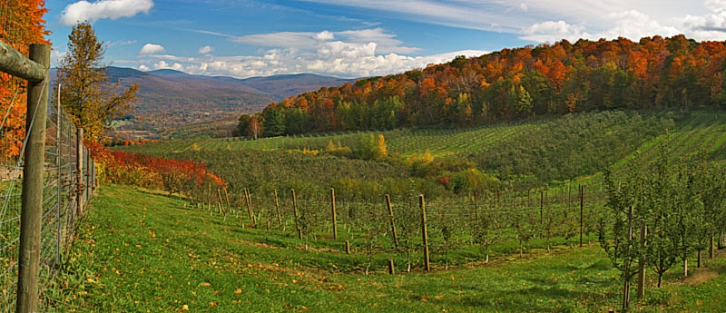 Apple orchard panorama
